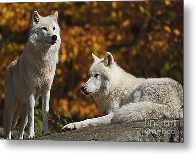 Metal Print featuring the photograph Two Arctic Wolves On Rock Hill by Wolves Only