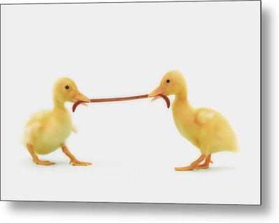 Two Baby Ducklings Fighting Metal Print by Thomas Kitchin & Victoria Hurst