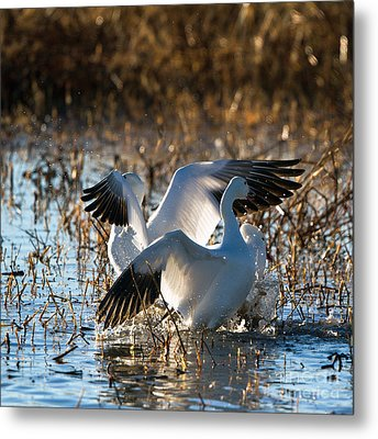 Two Backlit Snow Geese Metal Print by Martha Marks