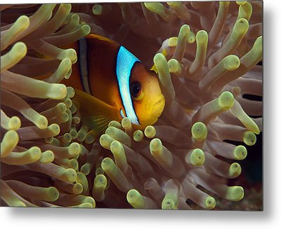 Two-banded Anemonefish Red Sea Egypt Metal Print by Eric Gibcus