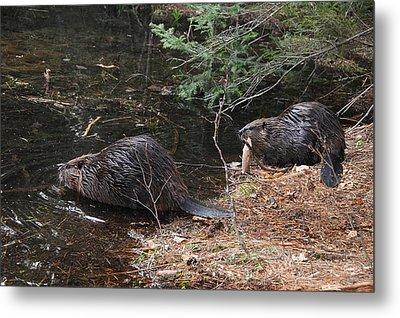Two Beavers Metal Print by Paul Miller