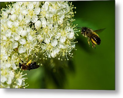 Two Bees On A Rowan Truss - Featured 3 Metal Print by Alexander Senin