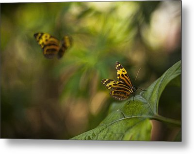 Two Butterflies Metal Print by Bradley R Youngberg