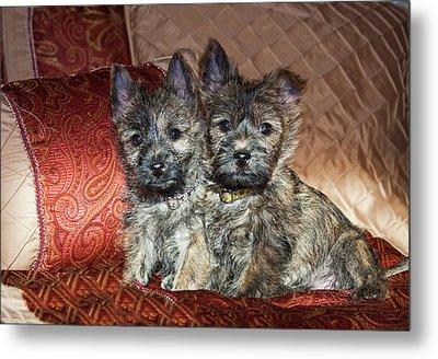 Two Cairn Terrier Puppies Sitting Metal Print