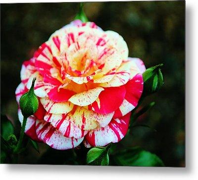 Two Colored Rose Metal Print by Cynthia Guinn