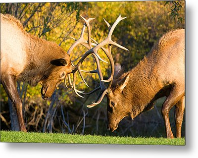 Two Elk Bulls Sparring Metal Print
