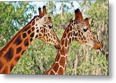 Two Giraffes Metal Print by Aimee L Maher Photography and Art Visit ALMGallerydotcom