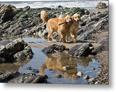 Two Golden Retrievers Walking Together Metal Print