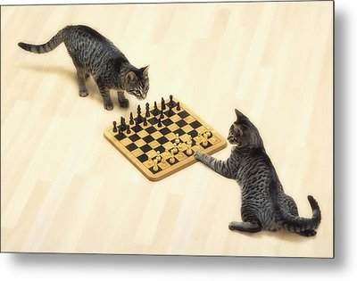 Two Grey Tabby Cats Playing Metal Print by Thomas Kitchin & Victoria Hurst
