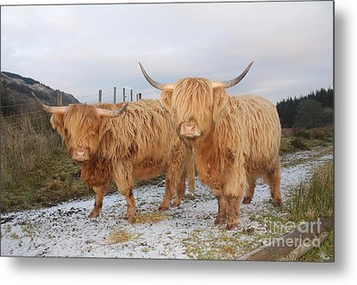 Two Highland Cows Metal Print by David Grant