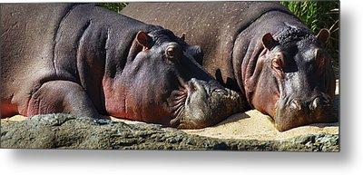 Two Hippos Sleeping On Riverbank Metal Print