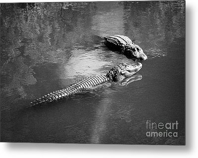 Two Large American Alligators Standing On Underwater Log Near Water Surface Florida Usa Metal Print by Joe Fox