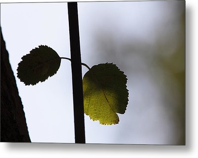 Two Leaves Metal Print by Ulrich Kunst And Bettina Scheidulin
