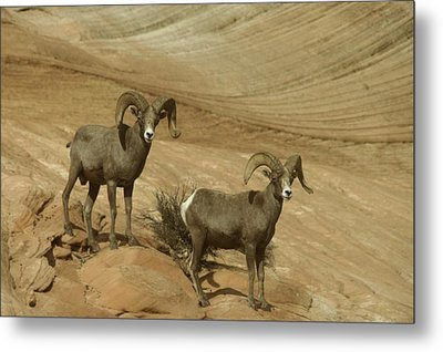 Two Male Rams At Zion Metal Print by Jeff Swan