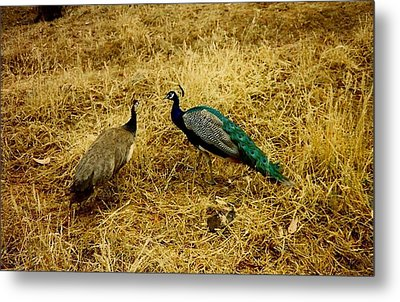 Metal Print featuring the photograph Two Peacocks Yaking by Amazing Photographs AKA Christian Wilson