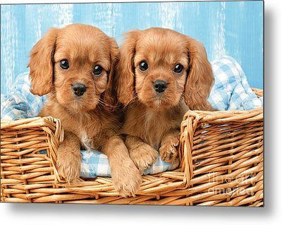 Two Puppies In Woven Basket Dp709 Metal Print