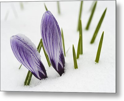 Two Purple Crocuses In Spring With Snow Metal Print