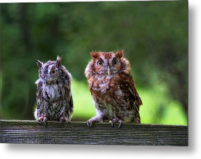 Two Screech Owls Metal Print