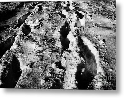two sets of fresh footprints crossing deep snow in field Forget Saskatchewan Canada Metal Print by Joe Fox