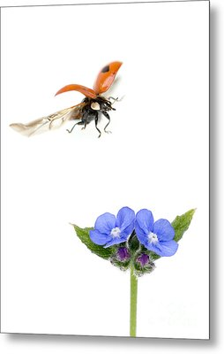 Two Spot Ladybug Metal Print by Mark Bowler