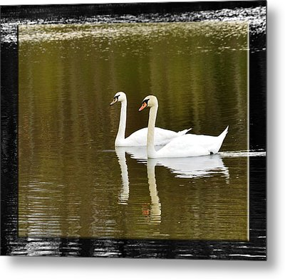 Two Swans A Swimming Metal Print