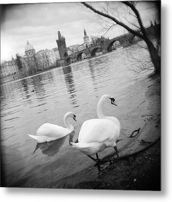 Two Swans In A River, Vltava River Metal Print by Panoramic Images