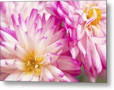 Two White And Pink Decorative Dahlias Metal Print by Daphne Sampson