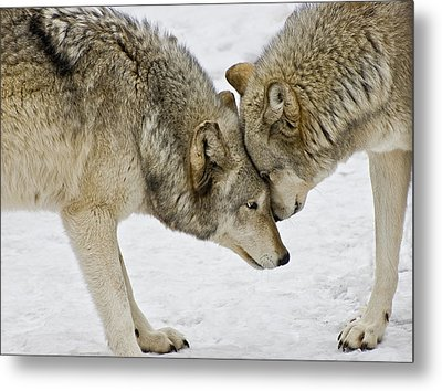 Two Wolves In  A Staredown Metal Print by Gary Slawsky