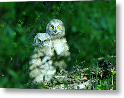 Two Young Owls Metal Print by Jeff Swan