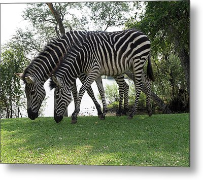 Two Zebras Eating Grass At Royal Metal Print by Panoramic Images