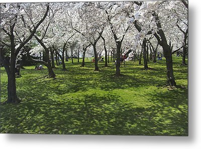 Under The Cherry Blossoms - Washington Dc. Metal Print by Mike McGlothlen