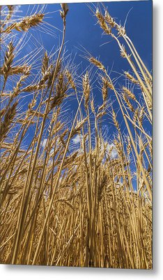 Under The Wheat Metal Print