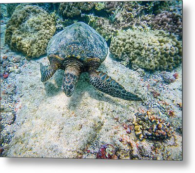 Swimming Turtle Metal Print by Denise Bird