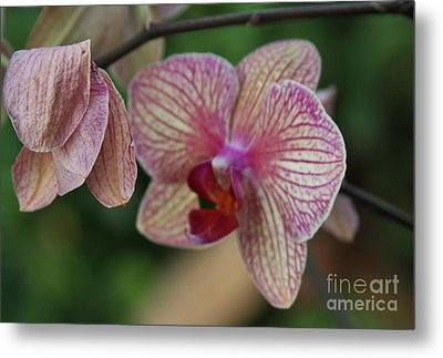 Unfolding Bloom Metal Print by Butch Phillips