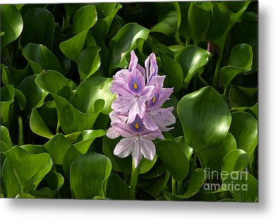 Unmanageable Beauty The Water Hyacinth Metal Print by Byron Varvarigos
