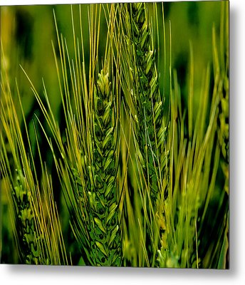 Unripened Wheat In The Palouse Metal Print by David Patterson
