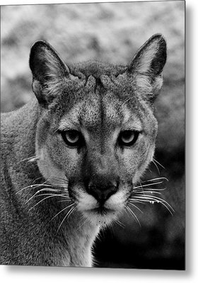 Untamed Metal Print by Swank Photography