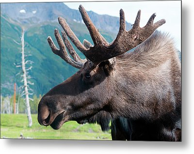 Up Close And Personal With A Moose Metal Print by Rick Daley