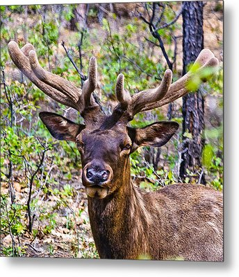 Metal Print featuring the photograph Up Close And Personal With An Elk by Bob and Nadine Johnston