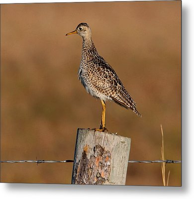 Upland Sandpiper Metal Print by Larry Trupp
