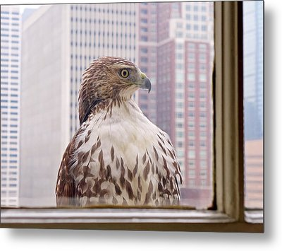 Urban Red-tailed Hawk Metal Print by Rona Black