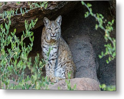Usa, Arizona-sonora Desert Museum Metal Print by Jaynes Gallery
