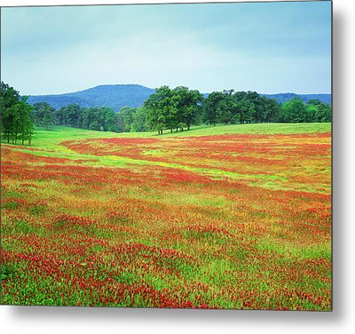 Usa, Arkansas Blooming Scarlet Clover Metal Print by Jaynes Gallery