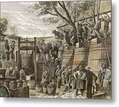 Usa. California. 19th Century. Chinese Workers Treading Grapes. Engraving Metal Print by Bridgeman Images