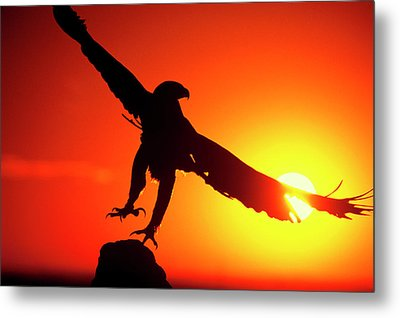 Usa, Colorado A Falconer's Golden Eagle Metal Print by Jaynes Gallery