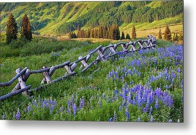 Usa, Colorado Lupines And Split Rail Metal Print