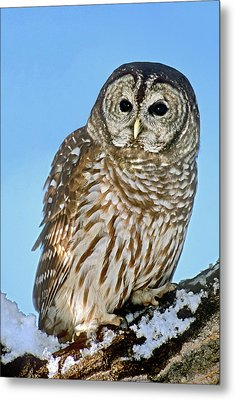 Usa, Colorado Portrait Of Barred Owl Metal Print by Jaynes Gallery