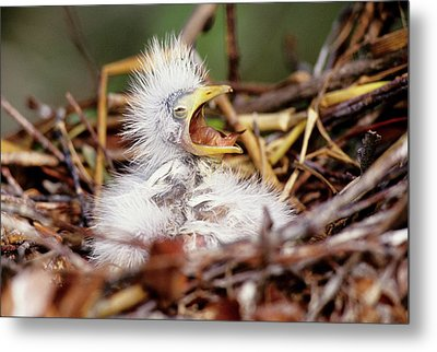 Usa, Florida Baby Cattle Egret In Nest Metal Print by Jaynes Gallery