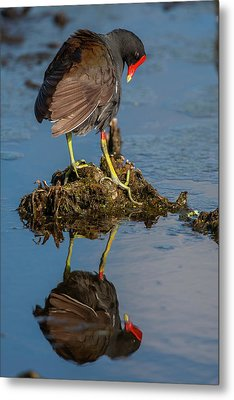 Usa, Florida, Green Cay, Wakodahatchee Metal Print