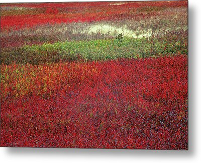 Usa, Maine Blueberry Fields In Autumn Metal Print by Jaynes Gallery